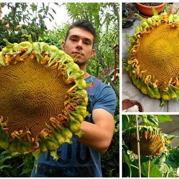 20 pcs Giant Sunflower seeds,giant big flower seeds,Top Quality Seeds for home plants - EXTRA RARE