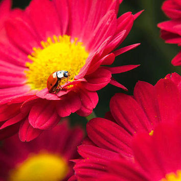 Ladybug, Lady Bird, Nature Photography, Summer, Garden Decor, Colorful Wall Art, Floral Print, Nursery Decor, Chrysanthemum Flowers, Beetle