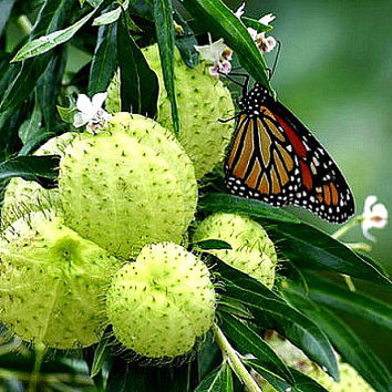 Family Jewels Milkweed, Hairy Balls, Swan Plant butterfly weed, 10 seeds, Gomphocarpus, Asclepias, strange seed pods, great cut flower