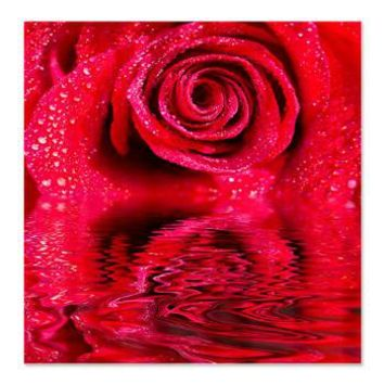 Reflections Of A Wet Red Rose Shower Curtain> Just Added> Daphsam's Amazing Flowers