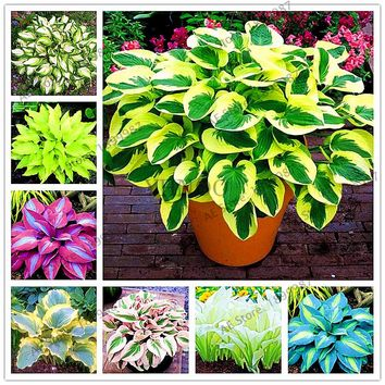 150pcs/bag beautiful  Hosta Plants Perennials Lily Flower Shade Hosta Flower Grass bonsai Ornamental Plants Home Garden