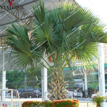 Sabal palmetto seeds cabbage palm tree seed outdoor Bonsai seeds for Home garden rare plant 10pcs/bag