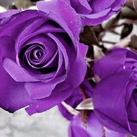 Heirloom 100 SEEDS Purple Roses Violet Rose Garden Double Flower Bulk Perennials B3000