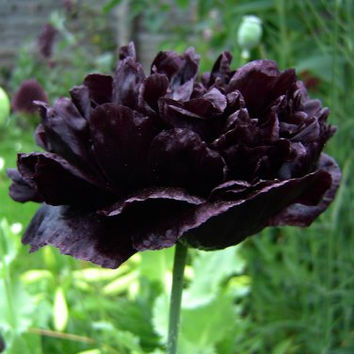 5 Rare Black Poppy Peony Flower Seed Papaver Paeoniflorum Heirloom Garden Plants Exotic Gardening