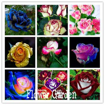 New Fresh Seeds White Heart Pink Side Rose Seeds 24 Colors Plants Potted Rose Rare Flower Seeds Balcony 50 Seed/Pack,#B7M05S