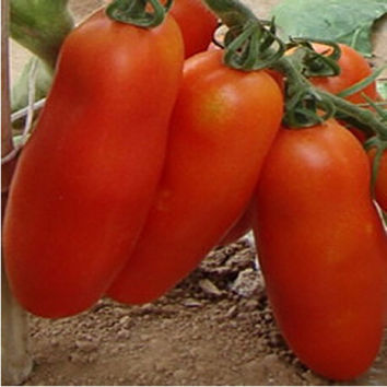 Bunches of bananas Hot Tomato 500 Seed  organic vegetable