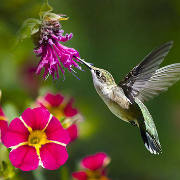 Hummingbird Photo, Hummingbird with Flowers, Humming bird Art, Hummingbird Photography, Hummingbird Flying, Photograph, Wildlife Photography