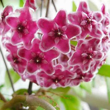 Hot Sale Rare Purple Ball Orchid Seeds Hoya Carnosa Seeds Potted Orchid Flower seeds Garden Plants Perennials 120PCS
