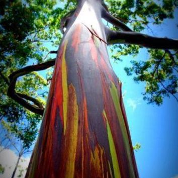 Rainbow Eucalyptus Tree Seeds (30 seeds)