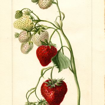 Strawberries, Timbrell (1897)