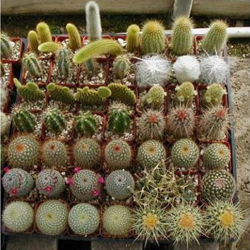 Cactus Seed Varieties Mix