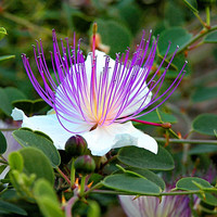 50 Caper Seeds - Capparis Spinosa - Flinders rose - Herb - Organic  ( 50 seeds )