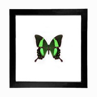 Real Emerald Swallowtail Butterfly Display