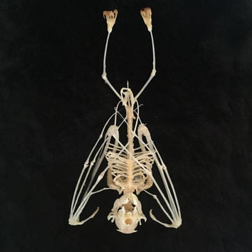 Sleeping Bat Skeleton