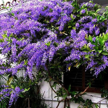 Petrea volubilis, Queen's Wreath, Sandpaper Vine, 5 seeds, fragrant purple blooms, zones 8 to 11, loves sun, drought tolerant, fluffy shrub
