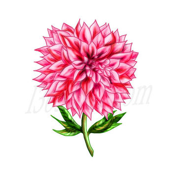 Beautiful Pink Dahlia Flower Clip art Digital Illustration 300 DPI Instant Download