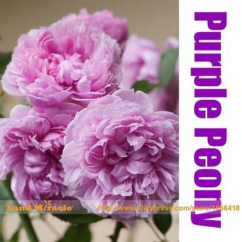 Rare Heirloom Purple Peony Shrub Plant Bonsai Flowers, 5 Seeds, Paeonia suffruticosa Seeds for home garden seedling plant