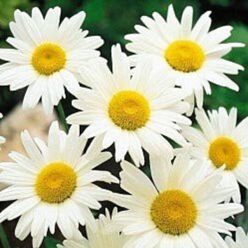 Chrysanthemum Maximum Alaska Shasta Daisy Wildflowers - 1,000 Seeds