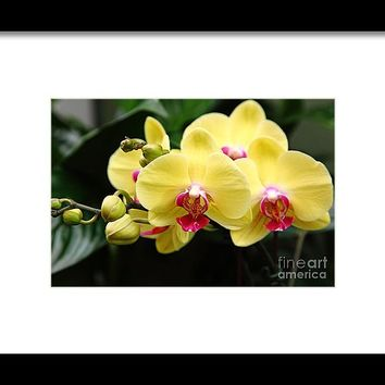 Yellow Orchids 5d22432 Framed Print