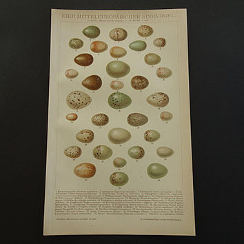"EGGS old print of Bird Eggs 1911 original vintage pictures of Eggs antique European singing bird egg prints illustration 15x24c 6x10"" small"