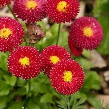 English Daisy Red Flower Seeds (Bellis Perennis) 200+Seeds