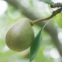 Green Pear Photograph, Art for the Kitchen, Pear Kitchen Decor, Square Wall Print, Nature Photography, Fruit Home Decor, Green Gold, Tuscan