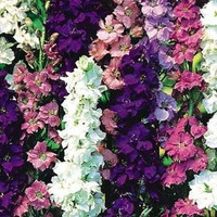 Larkspur Rocket Mix Flower Seeds (Delphinium Consolida) 50+Seeds