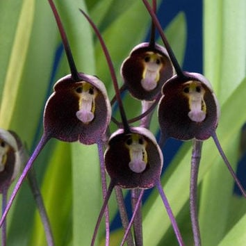 100 Pretty Black Monkey Face Orchid Seed Rare Plants Flowers Seeds - ONE of the World's Weirdest Flowers