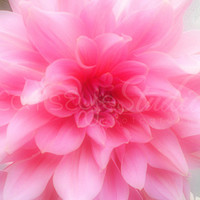 "Pink Dahlia Photo, Pink Flower Photography, Romantic Flower, - ""Soft Pink Dahlia"" 8x10 Photographic Print"