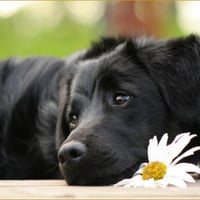 greeting card, black lab with daisy, dog lovers, blank card