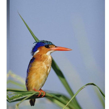 Malachite Kingfisher Perching on Reeds, Kenya