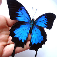 Spread Butterfly - Papilio Ulysses - Real blue butterfly - real insect - entomology - bugs - Real butterfly