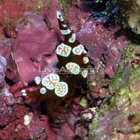 Saltwater Invertebrates for Marine Reef Aquariums: Sexy Anemone Shrimp