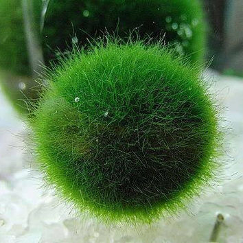 1PC Japan Marimo Moss Ball 10mm Aegagropila linnaei Syn.Cladophora aegagropila, Aquarium Aquatic Plant for Terrarium