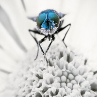 Insect photography, nature canvas, insect canvas, bluebottle, fine art photography, affordable wall art, blue white, macro,16x24,24x36,32x48