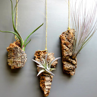 Three Tillandsia Air Plants on Separate Pieces of Natural Cork. Mount on a wall or suspend in air. Beautiful Gift!