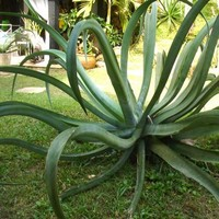 Octopus Agave Succulent Seeds (Agave vilmoriniana) 20+Seeds