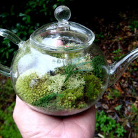TEA Pot Terrarium Glass Mondo Grass Lichen and by MossTerrariums