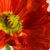 Iceland Poppy Wall Art Print -- Fine Art landscape photography, Flower, Close Up, Bright, Home Decor, HeatherRobersonPhoto