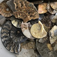 Ammonite Fossils with Quartz Crystals