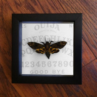 Ouija Death's Head Moth Display