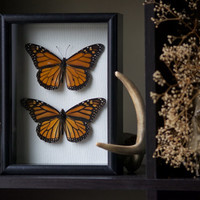 Male & Female Monarch Butterfly - Insect Shadow Frame Display - Museum Bug Glass Home decor