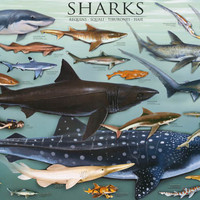 Sharks of the World Education Poster 24x36
