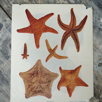 original antique starfish lithograph print from 1902 by A. W. Mumford // vintage ephemera