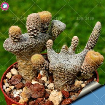 50pcs rare cactus seeds Prickly pear succulent seeds lotus Lithops bonsai planting for DIY home garden supplies potted
