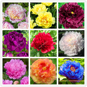 15pcs/ peony seeds. Paeonia suffruticosa Mix colors flower seeds for garden plant peony flower seeds Tree Peony Seeds