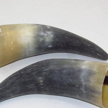 2 Cow horns ....E2A71... Unfinished, raw cow horns.,.....
