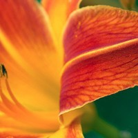 Lily Bug color botanical flower photograph 8x10 floral picture yellow