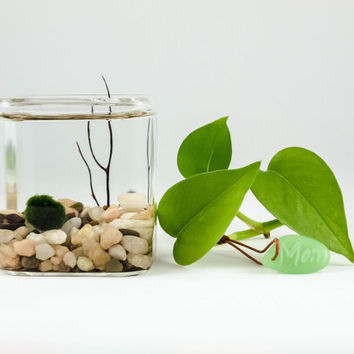 Marimo small cube terrarium with FREE customized gift tag