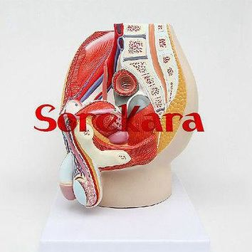 Human Anatomical Male Genital Urinary Pelvic System Dissect Medical Organ Model School Hospital